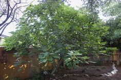 Figs are easy to grow and even easier to eat in many delicious ways | GardnersPath.com