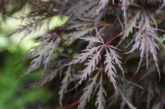 Acer palmatum dissectum 'Tamukeyama'. Photo by Jason Ingram.