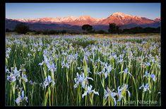 Wild Iris Sierra Sunrise by narmansk8 on DeviantArt