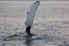 Pec-slap by a humpback whale