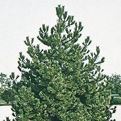 Scotch Pine Tree:  Although most pine trees take years to grow, the Scotch pine is one of the fastest growing pine trees. Shoots up 2 ft. a season! Grows in a pyramidal form, 40-75 ft. tall. Stiff, bluish-green needles stay dense and thick all year long and block wind with a vengeance.  Use needles for essential oil & pine straw mulching and landscaping!