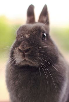 black/brown bunny-I have one this color not sure what color he really is.