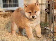 「柴犬 子犬」の画像検索結果
