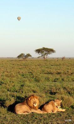 Serengeti lions with balloon behind, Tanzania