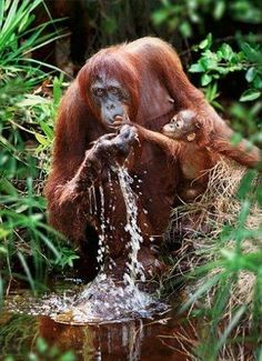 Mother and baby orangutan drinking Tanjung Puting Borneo - by Steve Bloom South African Primates, Mammals, Nature Animals, Animals And Pets, Wild Animals, Beautiful Creatures, Animals Beautiful, Beautiful Beautiful, Beautiful Pictures