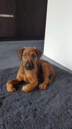 Flynn, our irish Terrier, only 7.5 weeks old, but so pretty.