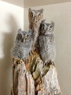 Baby owls.  Gotta love the one on the right, with its very wide-eyed expression!   :)