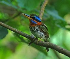 Spotted Kingfisher (Actenoides lindsayi moseleyi) Adult male. Photo taken in Philippines by Stijn De Win/Birding Asia.May also be called spotted Wood Kingfisher