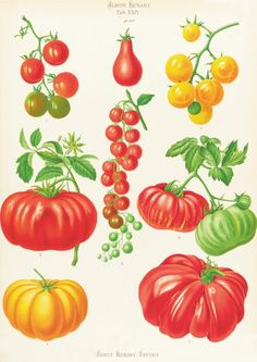 botanical print of tomato | Tomatoes, or Love-Apples by Ernst Benary