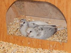 Two juvenile diamond doves sitting in the feed box, 1/9/2014
