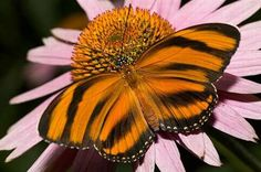 It is quite obvious how the Banded Orange Tiger got its name. From Brazil through Central America to central Mexico, this butterfly is essential to the eco system as a primary pollinator.