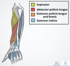 Forearm Muscles Anatomy Muscles Of The Posterior Forearm Superficial Deep Teachmeanatomy - Human Anatomy Diagram Forearm Muscle Anatomy, Forearm Muscles, Gross Anatomy, Body Anatomy, Muscular System Anatomy, Occupational Therapy, Exercise Physiology, Physical Therapy, Massage