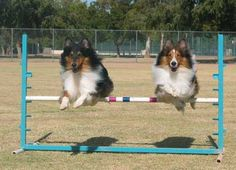 Shelties are great at agility.  Both of ours have competed in agility and this photo looks just like George (L) and Hurley (R) - but they never took a jump together!