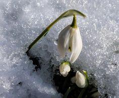 Snowdrops In The Snow by Lynn Bolt