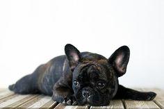 I love french bulldogs!