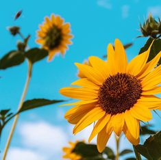 Happy Fri-yay gang as well as craving the blue skies and sunny sunflowers I need a little today do you? It takes both sun and rain for a flower to grow hit me right in the feels! - photo credit via thank you for sharing this lovely picture with the world