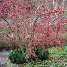 Gardening Autumn - Malus red sentinel - With the arrival of rains and falling temperatures autumn is a perfect opportunity to make new plantations Crabapple Tree, Winter Garden, Ornamental Trees, Garden Trees, Winter Crops, Garden Gifts, Dream Garden, Garden Inspiration, Winter Plants