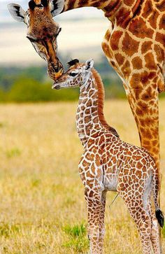 Cute mommy and baby giraffes