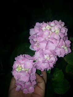 My pink hydrangeas ♡