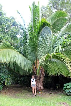 A look at 4 Hawaiian gardens (O'ahu and Kaua'i) Tropical Backyard Landscaping, Palm Trees Landscaping, Tropical Garden, Tropical Plants, Trees To Plant, Plant Leaves, Hawaiian Gardens, Red Palm Oil, Buddha Garden