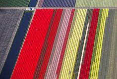 Tulipanes en Holanda: El jardín de Europa   Fotografía