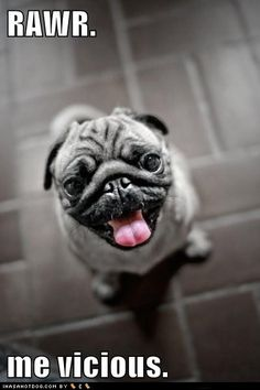 Oh, you crazy pug...as vicious as a butterfly come here youu cutieeee