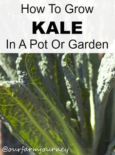 how to grow kale from seeds in a pot or garden