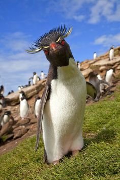 A bad feather day. Rockhopper Penguin, Carcass Island in the Falkland Islands Archipelago ~ Photo by Jim Zuckerman Pretty Birds, Love Birds, Beautiful Birds, Animals Beautiful, Animals And Pets, Funny Animals, Cute Animals, Rockhopper Penguin, Funny Birds