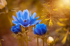 Images of nature with beautiful anemone blue flower blossom bloom.