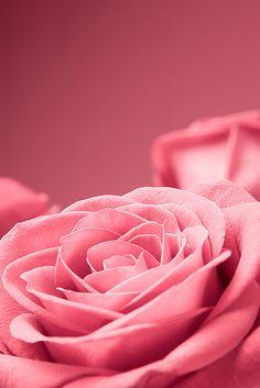 rosas maravilhosas!