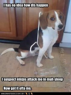 Baha! Beagles can get caught up in anything. My part beagle gets his tie-out leash stuck in grass blades!! He believes he cant get loose..poor creature.