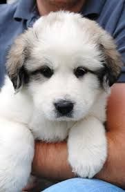 great pyrenees puppies - Google Search