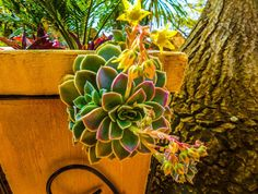 Succulent flower Nature Photos, South Africa, Succulents, Flowers, Plants, Florals, Succulent Plants, Planters, Flower
