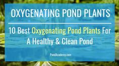 Pond plants can reduce algae, clean your water and supply vital oxygen. But, which plants should you choose? Here are the 10 best oxygenating pond plants for your pond or water garden! Water Plants For Ponds, Small Water Gardens, Water Garden Plants, Pond Plants, Garden Ponds, Pond Algae, Aquatic Plants, Garden Fountains Outdoor, Outdoor Ponds