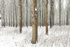 Martin Brent - Snow Trees II on www.eyestorm.com