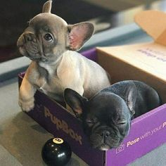 """Obtain wonderful suggestions on """"French bulldog"""". They are on call for you on our site. Obtain wonderful suggestions on French bulldog. They are on call for you on our site. Cute French Bulldog, French Bulldog Puppies, Cute Dogs And Puppies, I Love Dogs, French Bulldogs, Doggies, Cute Little Animals, Cute Funny Animals, Cute Animal Pictures"""