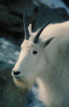 """""""You are greatly admired and don't even know it."""" CAPRICORN GOAT"""