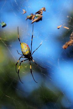 Kyoto, Fushimi Inari Taisha, Spider, Animals, Spiders, Animales, Animaux, Animal, Animais