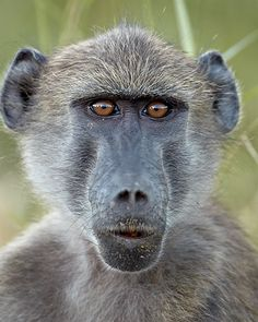 Young Chacma Baboon in Kruger National Prk, South Africa, photo by James Hager