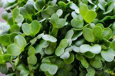 Vlăstarii sau microplantele sunt bogate în fitonutrienți, conțin proteine, vitamine și ajută corpul în detoxifiere. Beneficiile vlăstarilor sunt nenumărate.