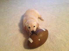 Jewel Comfort Dog! #dogs #puppies #k9comfortdogs #football