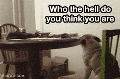 Funny gifs, cute gifs, all kinds of gifs! Funny Cute, The Funny, Hilarious, Funny Dogs, Funny Animals, Funny Memes, Animal Funnies, Meme Meme, Pugs