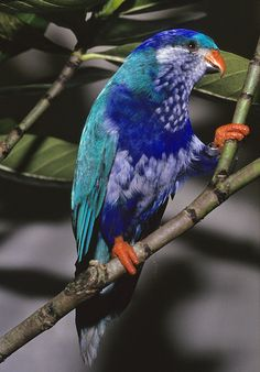 Ultramarine Lorikeet... Endemic to the Marquesas Islands. The introduction of the black rat has completely wiped out their population on at least three of the major islands.