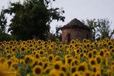 Monferrato hills with sunflowers Mellow Yellow, Sunflowers, Sunflower Seeds