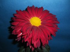 Class 7 - Single and Semi-Double Chyrsanthemum, grown at Monticello, VA
