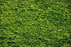 Green wall background of Boston ivy - Stock Photo - Images