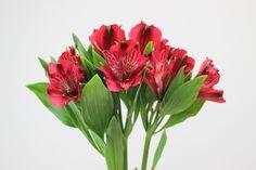 Red Alstromeria Lily - Google Search