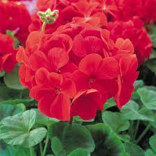 Red geranium, my summer plant