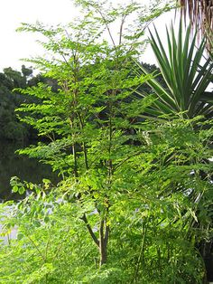 Some growing instructions for Moringa oleifera. Plus there was a nice picture.