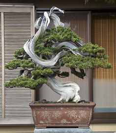 *This is an example of a great bonsai